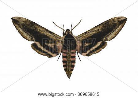 Privet Hawk Moth (sphinx Ligustri L.) Isolated On White Background