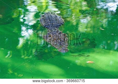 Wild Animal, Crocodile Farm In Thailand, Floating Alligator In The Lake, Crocodile God, Jaw With Tee