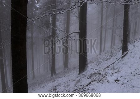 Bare Tree Trunks With Thick Fog Create An Interesting Spectacle. Grieved And Cramped Atosphere. Slop