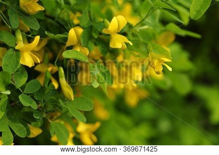 Caragana Arborescens (yellow Acacia),floral Background.yellow Flowers In The Spring Evening.