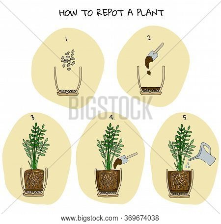 Steps Of Transplanting Potted Flower. Vector Instruction. How To Repot A Zamioculcas Plant. Hand Dra