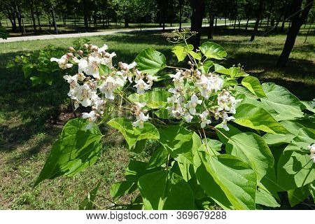 Blossoming Branch Of Catalpa Tree In Mid June