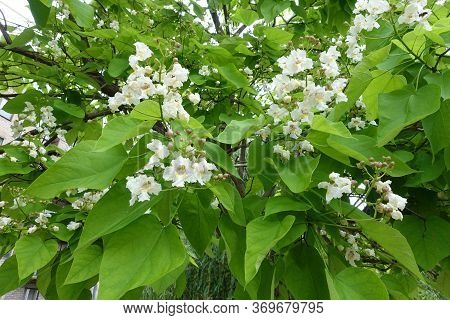 Buds And White Flowers Of Catalpa Tree In June