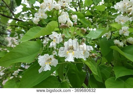 Closed Buds And Opened White Flowers Of Catalpa In June