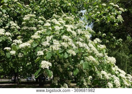Blossoming Branches Of Common Dogwood Tree In May