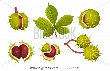 Chestnuts In Cracked Shell With Prickles And Pointed Oblong Leaves Vector Set