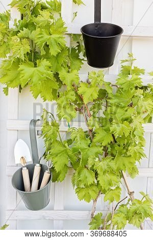 Young Grapes And Gradening Tools. Balcony Garden, Hobby, Leisure Concept