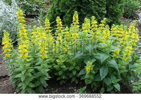Bright Yellow Flowers Of Lysimachia Punctata In May