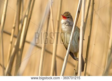 Great Reed Warbler, Acrocephalus Arundinaceus. The Bird Sits In The Reed And Sings