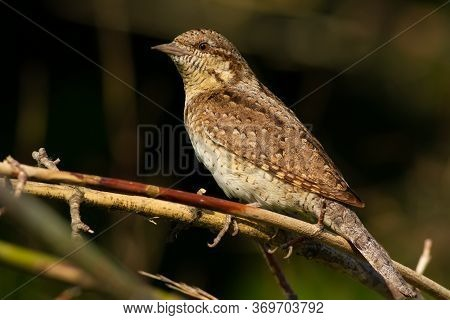 Wryneck, Jynx. The Bird Hid In The Bushes