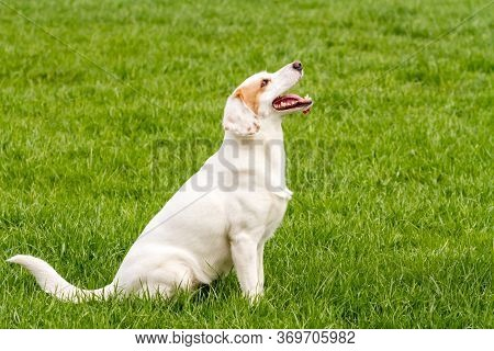 Funny White Non-pedigree Dog With Protruding Tongue Sitting On The Green Grass