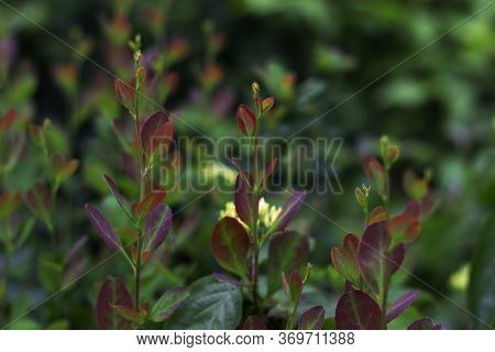 The Three-colored Courtyard Grass Was Shot Close-up: Green, Red And Lilac Shade. The Photo Of Unusua