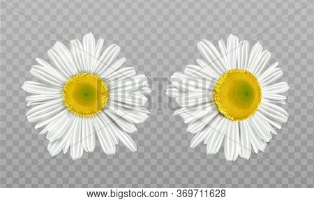 Chamomile, Daisy Flowers Isolated On Transparent Background. Vector Realistic Set Of Camomile Blosso