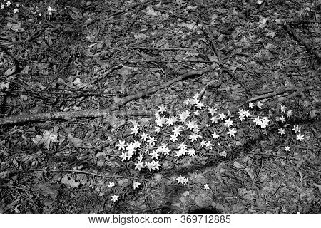 Snow Drops In Forest On Spring Time. Seasonal Background