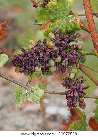 Botrytised Chenin Grape, Savenniere, France