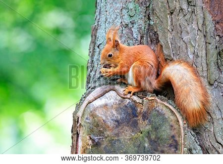 An Orange Squirrel Sits On A Tree And Nibbles A Walnut.