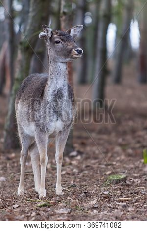 Dama Dama - European Fallow Deer Has Beautiful Antlers