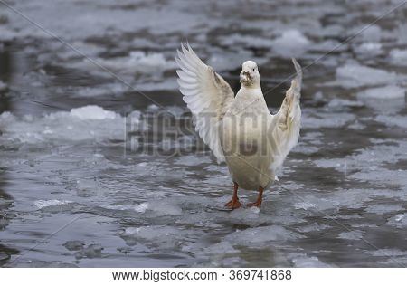 White Duck With Outstretched Wings On A Frozen Pond In Winter.