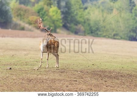 Fallow Deer Dama Dama On A Green Meadow