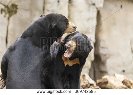 Two Bears Helarctos Malayanus - Malaysian Bear Are Fighting And Have An Open Mouth.