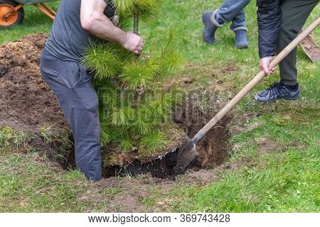 Strong Caucasian Man Plants A Cedar Tree. Dig The Ground With A Shovel. Planting Plants. Coniferous