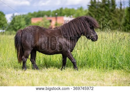 Mini Pony Horse In The Meadow Surrounded By Flying Insects