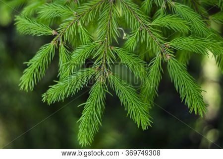 Spruce Branch, Green, Close-up. New Year. Christmas