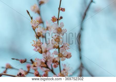 Apricot Tree Fairy Flowers Soft Focus. Spring White Flowers On Apricot Tree Branch