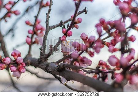 Spring Pink Apricot Flowers On A Tree Branch. Apricot Tree Blooming Close Up