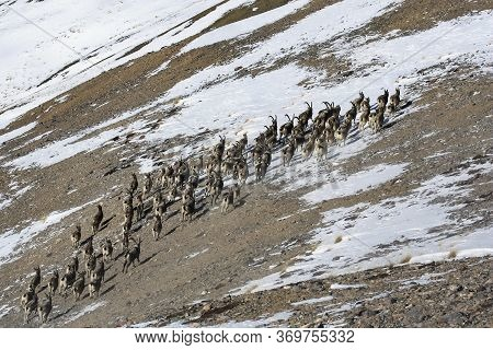 A Herd Of Ibex Or Mountain Goats Ascends A Mountain Slope. A Group Of Central Asian Ibex With Goats