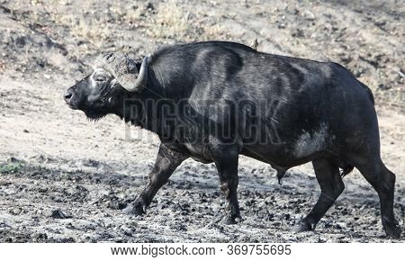 A Big Old Bull Of An African Buffalo Is Coming From A Watering Hole. A Powerful Male Cape Buffalo Cl