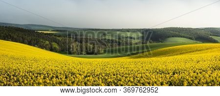 Rapeseed Fields Panorama, In The South Moravian Countryside, In The Czech Republic At Sunrise. Bloom