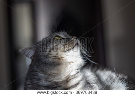 Curious Furry Cat Is Looking Up. Beautiful Furry Cat With Yellow Eyes