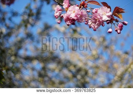 Floring Tree With Red Or Pink Flowers In Spring. Flowers Close-up, Screensaver Or Background With Th