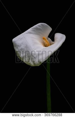 White Calla Lilly Flower Isolated On Black Background. Copy Space.