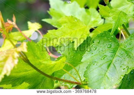 Leaves Of Downy Japanese Maple. Young Branch Of Japanese Maple In Summer Time. Young Plant