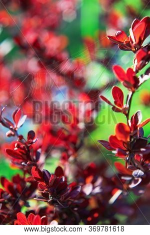 Red Bush Of Barberry (berberis) In Sunny Spring Day. Thin Spider Web. Beautiful Vertical Nature Scen