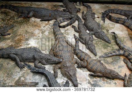 Palawan, Ph - Nov 28 - Crocodiles Rescued At Center On November 28, 2009 In Puerto Princesa, Palawan