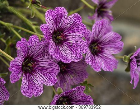 Beautiful Bright Pink And Purple Cranesbill Geranium Flowers, Variety Laurence Flatman