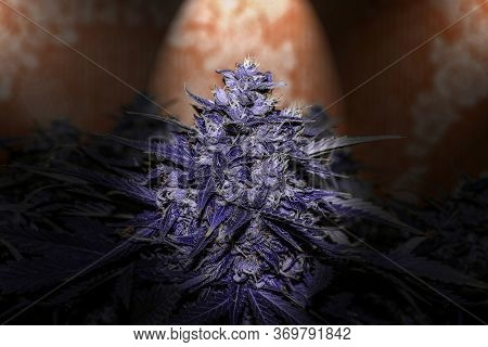 Large Bud Of Purple Medical Cannabis, Trichome Closeup, Great Detail Of Marijuana