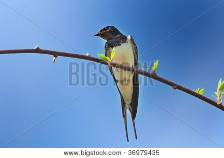 A barn swallow sitting on a tree branch and holding a small twig or hair in its beak to build a nest against a blue sky background poster