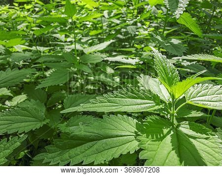 Green Juicy Leaves Of Stinging Nettles On A Sunny Summer Day. Natural And Botanical Background. Urti