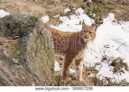 The Eurasian Lynx (lynx Lynx) Or Carpathian Lynx Walking In The Beginning Of Spring With Dry Grass A