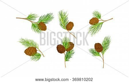Cedar Branch With Evergreen Needle-like Leaves And Barrel-shaped Brown Seed Cones Vector Set