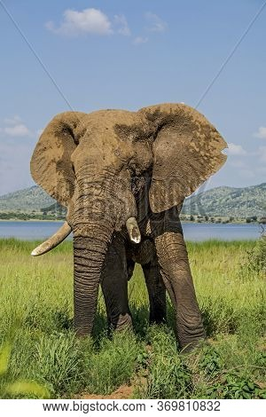 African Elephant Posing With A Broken Tusk
