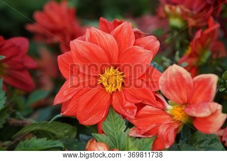 Close-up Of The Blooming Bud Of A Magnificent Coral Dahlia Flower.