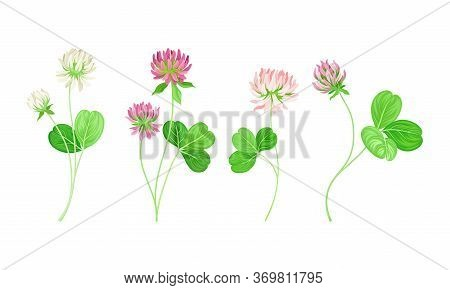 Clover Or Trefoil With Dense Spike Of Purple And White Flower And Trifoliate Leaves Vector Set