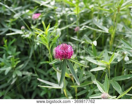 Macro Photo Of Nature Plant Flower Clover. Background Texture Of A Blooming Wild Flower Clover. Imag