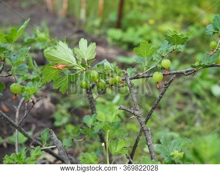 Green Gooseberries. Growing Organic Berries Closeup On A Branch Of Gooseberry Bush. Ripe Gooseberry