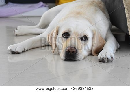 Portrait Of White Labrador Retriever Dog Laying, Resting And Posing For Photo Shoot On Wooden Floor